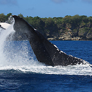 Humpback whale (Megaptera novaeangliae) executing a reverse tail slap, with dorsal surface hitting the surface of the ocean. This was an adult female with an accompanying calf. The mother and baby spent several hours playing together, slapping the ocean surface with their tails, breaching, and engaging in other activities. The calf was Orion, the 13th calf I counted during the 2007 season in Vava'u, Tonga.