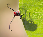 A macro shot of a Red Milkweed Beetle (Tetraopes tetrophthalmus) on a milkweed leaf.