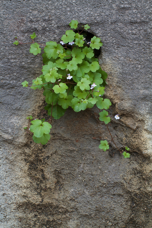 Ivy-leaved Toadflax (Cymbalaria muralis) growing in the walls of the Mayor's House of Pont-du-Chateau, Auvergne, France.
