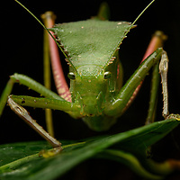 Primarily restricted to New Guinea, helmeted katydids (subfamily Phyllophorinae) are readily distinguished from others by the large shield-like process which extends over the front part of their body and is frequently armed on the sides with sharp spines. Also, in a family of insects which are famous for their ubiquitous calls, these katydids stand apart for the inability to sing. Lacking the typical sound-producing apparati of most katydids, the method by which females and males of these species are able to find each other at night in the tangled rainforest understory remains a mystery.