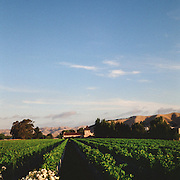A panoramic sweeping view of vineyards with a stunning mountain range back drop in the Marlborough Wine Region, Blenheim,  South Island, New Zealand..The Marlborough wine region is New Zealand's largest wine producer and has earned a global reputation for viticultural excellence since the 1970s. It has an enviable international reputation for producing the best Sauvignon Blanc in the world. It also makes very good Chardonnay and Riesling and is fast developing a reputation for high quality Pinot Noir. Of the region's ten thousand hectares of grapes (almost half the national crop) one third are planted in Sauvignon Blanc.  Marlborough, New Zealand. Photo Tim Clayton