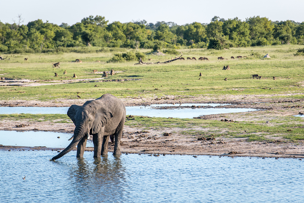 An elephant stops by a watering hole to get a drink in Hwange National Park. Hwange, Zimbabwe.