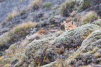 Under a light snow we discovered -not far away from our trekking trail- a solitary puma partially hidden behind the bushes watching attentively around him.<br /> Picture taken in Torres del Paine, Chile.<br /> Canon EOS-1D Mark IV+EF 100-400 mm f/4.5-5.6L IS II USM+1.4x<br /> Shot at 560 mm<br /> 1/125 s at f/8.0; +2/3 EV <br /> ISO 3200<br /> 4749x3166 (originally 4896x3264)<br /> No post-processing beyond lens profile and minor dust spotting, global saturation, exposure adjustment, noise reduction, sharpening and cropping.