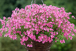 Diascia Romeo Bright Pink syn. 'Balromink' - Romeo Series - in a hanging basket