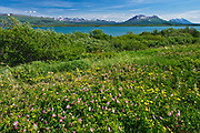 Roses along the Haines Road,  north of Haines Junction, Yukon, Canada