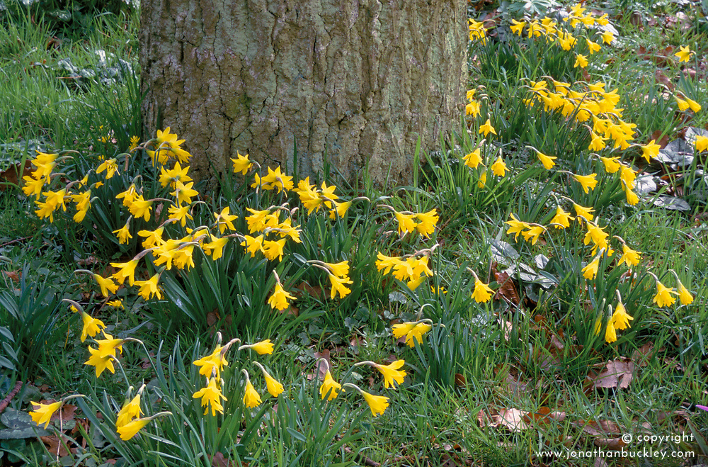 Naturalised Narcissus minor growing around the base of a tree trunk at the edge of Beth Chatto's woodland garden