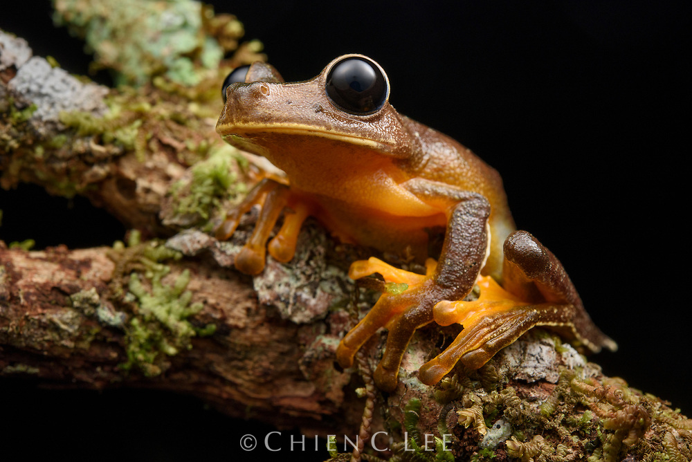 Inhabitants of cool mountain streams, Big-eyed Tree Frogs (Nyctimystes spp.) are nearly entirely restricted to the island of New Guinea (with a few species in Australia and the Moluccas).