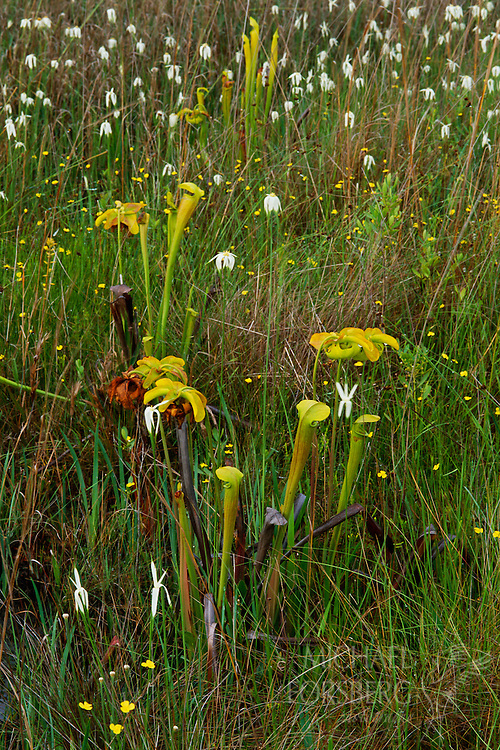 Yellow Trumpet Pitcher Plants and White-top Sedge, Wet Pine Savannah, Mississippi Sandhill Crane National Wildlife Refuge, Mississippi.