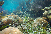 Belize, Central America - Underwater life on coral reef near Placencia