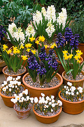 Group of scented spring bulbs in containers. Narcissus 'Tete-a-tete', Crocus chrysanthus 'Snow Bunting', Hyacinth 'Carnegie' and  H.'Blue Magic'