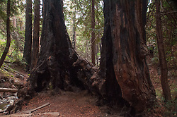 Redwood Forest, Limekiln State Park, Big Sur, California, US