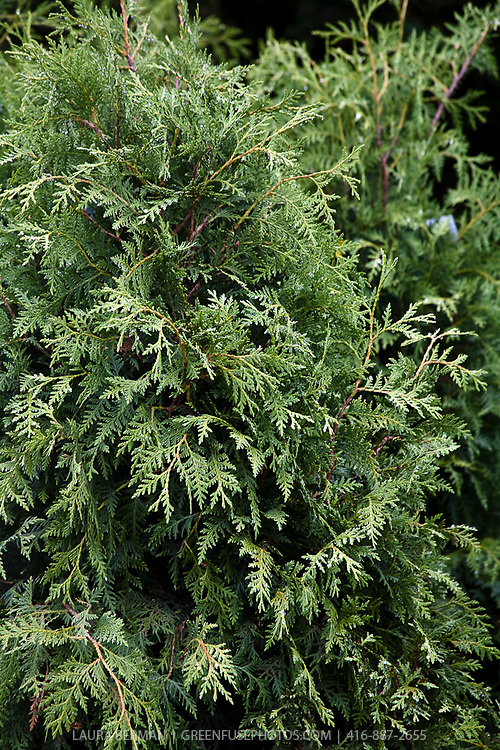 Black Cedar, (Thuja occidentalis 'Nigra')