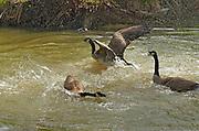 Canada geese exhibiting territorial behaviour in the Seine River<br /> Winnipeg<br /> Manitoba<br /> Canada