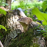 Pheasant's back mushroom (Polyporus squamosus)