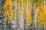 Fall color in the forests near the Arizona Snowbowl ski area. San Francisco Peaks near Flagstaff.