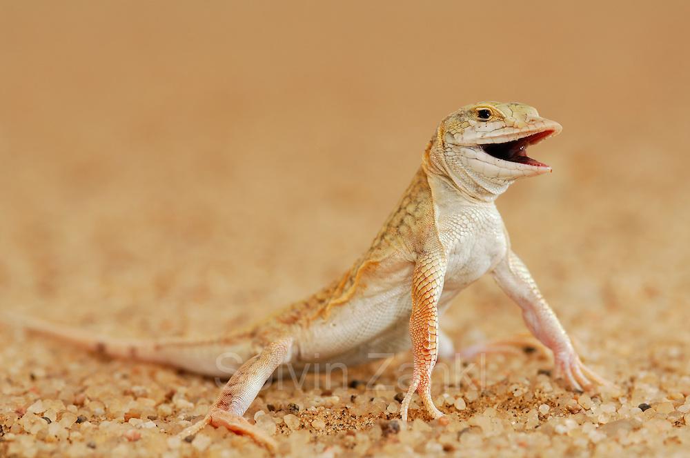 """Das Leben auf den Sanddünen der Namib stellt an die Sandechse (Aporosaura anchietae) große Anforderungen: es gibt keinerlei Deckung vor Sonne und Freßfeinden, die Hitze ist tagsüber extrem, nachts dagegen herrscht Kälte, der Untergrund ist so locker, dass er vom Wind ständig verblasen wird und den Schritten kaum Widerlager bietet. Die Reptilien verschiedenen Gruppen und Kontinente haben unabhängig voneinander im Laufe der Evolution auffallend ähnliche Anpassungen daran entwickelt. Die Sandechse Namibias hat breit gefingerte Füße für eine große Standfläche, lange Extremitäten, die den Körper hoch über den heißen Sand halten können  und eine abgeflachte Schnautze, die ein perfektes Eintauchen in den Sand aus vollem Lauf heraus ermöglicht. Die Echse """"schwimmt"""" dann mit schlängelnden Bewegungen in den Sand hinein - und ist somit vor Feinden unt starken Temperaturschwankungen geschützt.   Shovel-snouted lizard or Namib Sanddiver (Aporosaura anchietae) Namib Desert sand dune; shot digital: 14,03inch x 9,317inch at 300 Pixel\inch"""