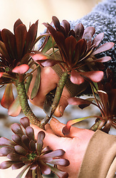 Taking cuttings from tender plants (Aeonium arboreum 'Zwartkop'). Taking cutting