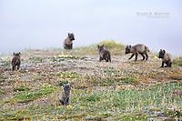 Arctic fox pups, Nunavut, Canada