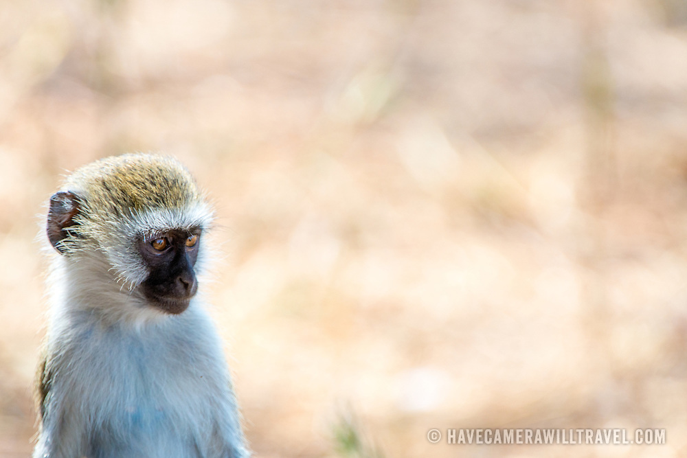 A vervet monkey sits watchfully at Tarangire National Park in northern Tanzania not far from Ngorongoro Crater and the Serengeti.