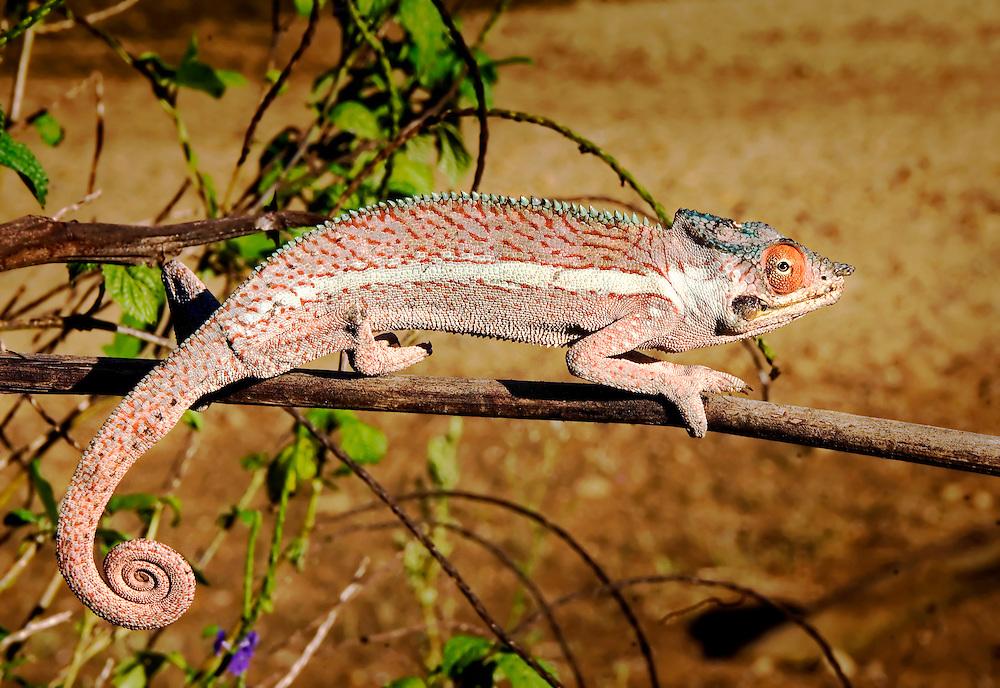 Ping Panther Chameleon