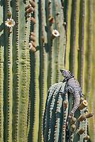 San Esteban spiny-tailed iguana, Ctenosaura conspicuosa on San Esteban Island  in the Gulf of California, Baja California, Mexico.