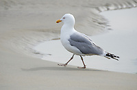 Herring Gull walking along a beach at the water's edge.