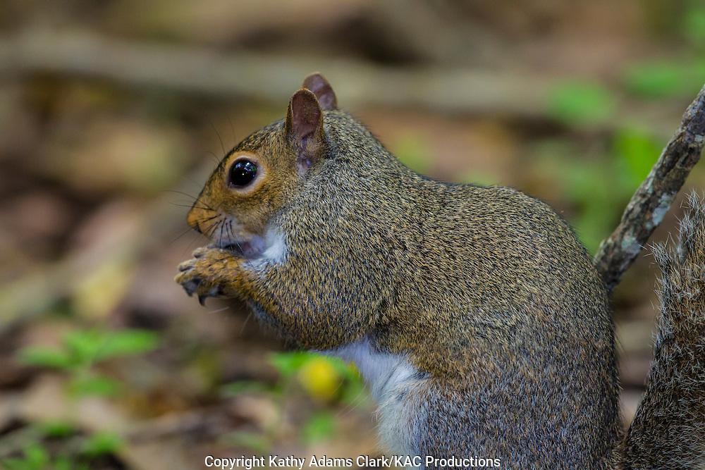Eastern gray squirrel; High Island; Houston Audubon Sanctuary; Sciurus carolinensis; Texas