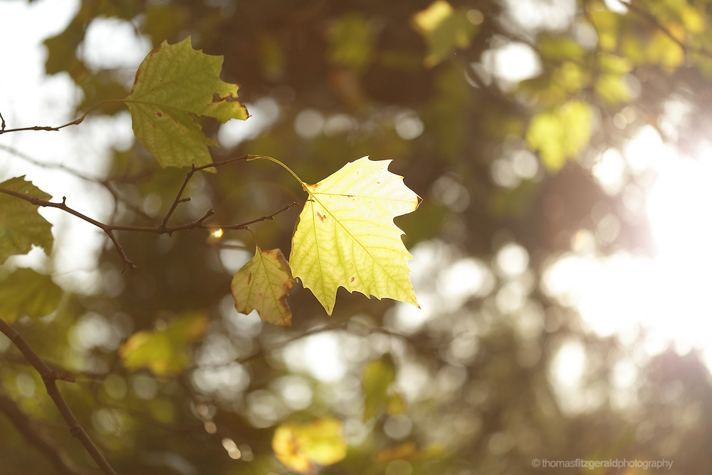 Turning Autumn Leaves in the Sunshine with the sun shining from behind with some nice flare and bokeh