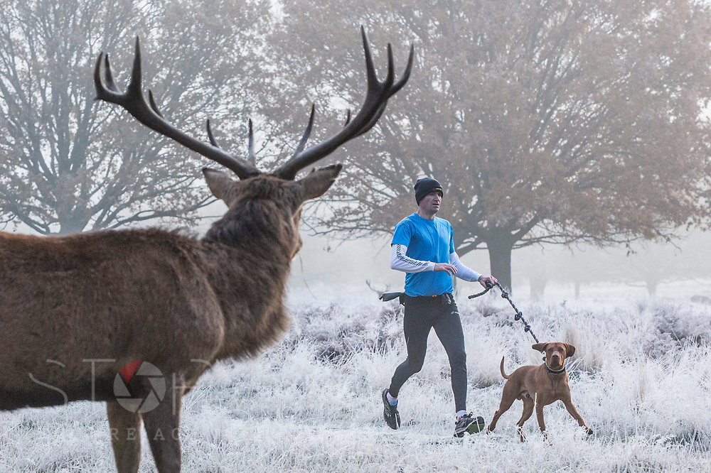 UNITED KINGDOM, London: 22 November 2018 A red deer watches on as a jogger and his dog make their way through a frosty Richmond Park during sunrise this morning. Temperatures sunk to zero degrees in the capital last night. Rick Findler  / Story Picture Agency