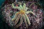 Coscinasterias calamaria (Eleven Armed Starfish)
