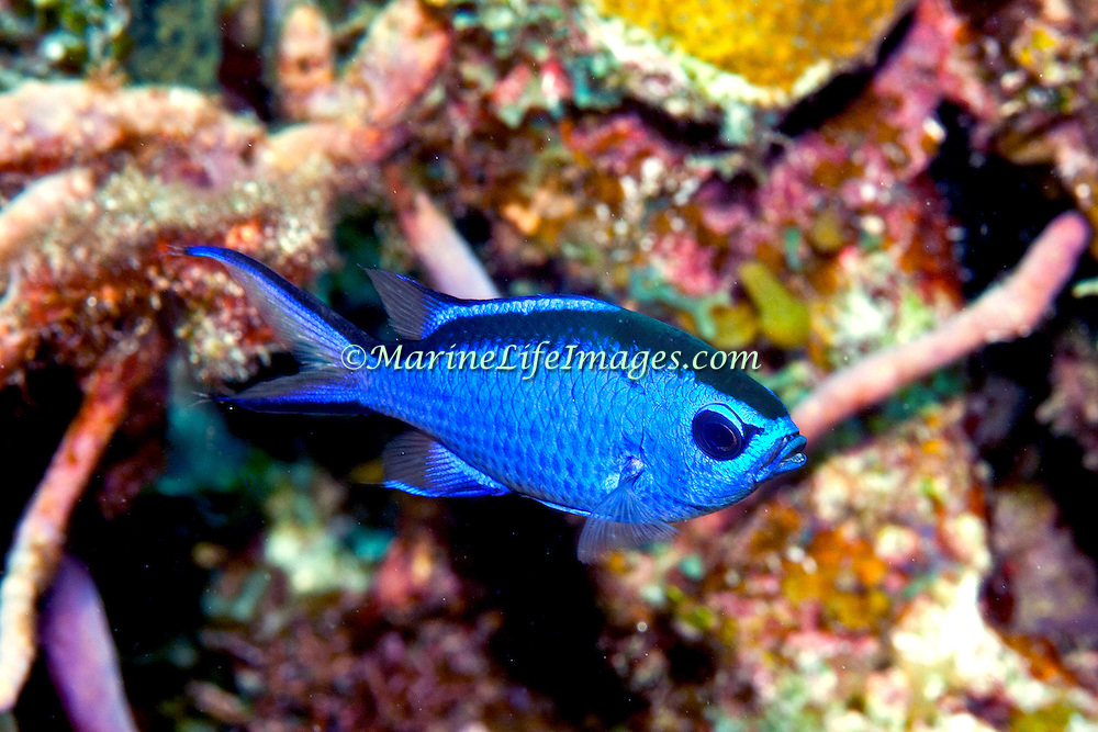 Blue Chromis inhabit reefs feeding in open water above, in Tropical West Atlantic; picture taken Little Cayman.