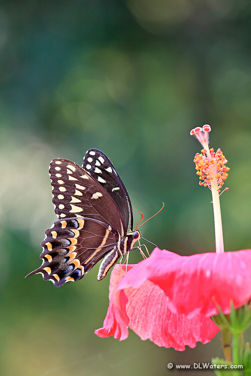 To get this butterfly to stay on the Hibiscus flower long enough to photograph I placed some hummingbird fluid onto the flower.