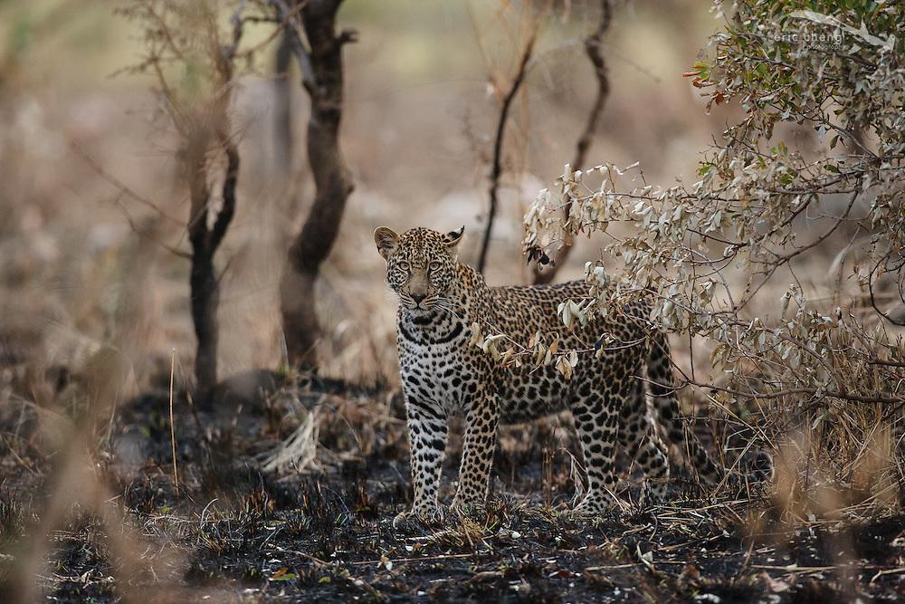 Leopard (Panthera pardus). Serengeti, Tanzania.