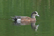 American Wigeon photos