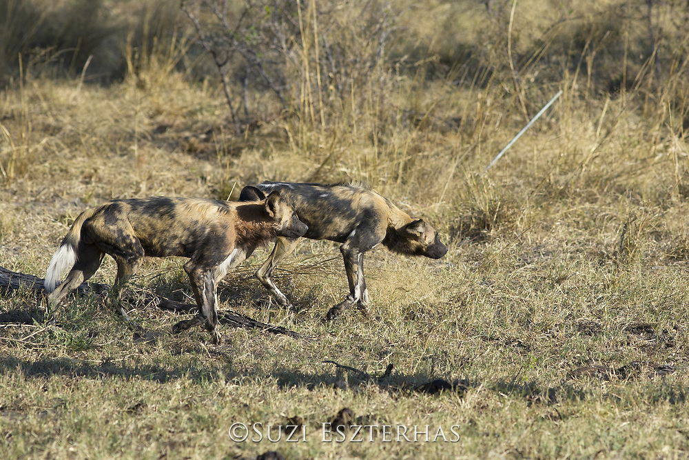 African Wild Dog<br /> Lycaon pictus<br /> On the hunt<br /> Northern Botswana, Africa<br /> *Endangered species