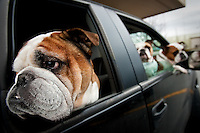 JEROME A. POLLOS/Press..Dozer, one of three English Bulldogs owned by Randy Duncan, hangs his head out of the back window of a truck as his owner waits in line at a bank drive-thru teller Monday in Coeur d'Alene with the other two Bulldogs, Gracie and Maggie, riding shotgun.