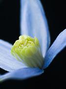Clematis alpina 'Columbine' - atragene clematis