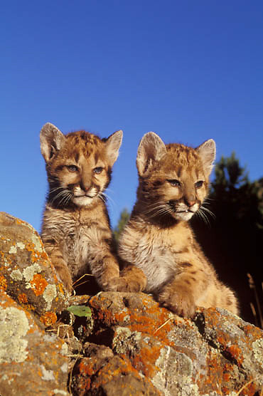 Mountain Lion or Cougar, (Felis concolor) Portrait of cubs on rocks. Montana. Captive Animal.