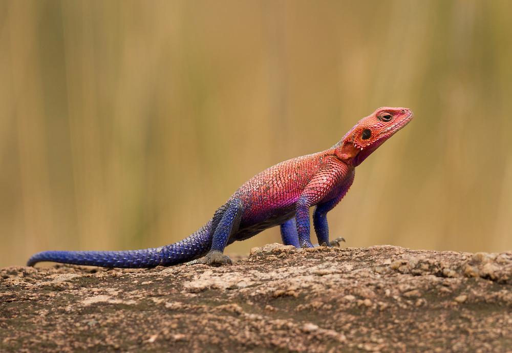 Common Agama, Red-headed Rock Agama, or Rainbow Agama (Agama agama)