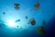 Stingless jellyfish, Mastigias sp., Jellyfish lake, Palau, Micronesia.