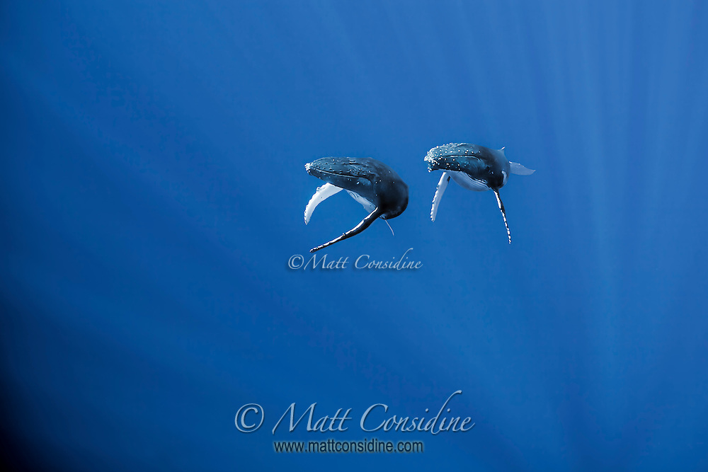 These two whales peeled off from a deep swimming pod and swam almost vertically, towards the surface. (Photo by Underwater Photographer Matt Considine)