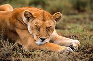 Close-up of lioness sleeping, Serengeti National Park. © 1999 David A. Ponton
