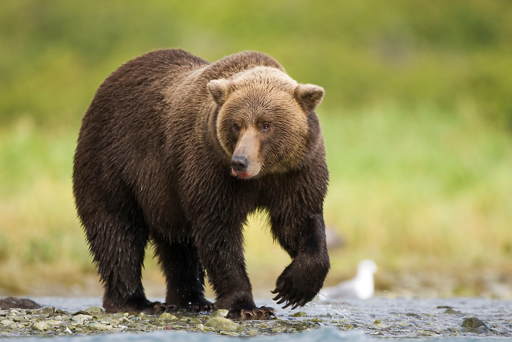 USA, Alaska, Katmai National Park, Geographic Harbor, Brown Bear (Ursus arctos) walking along shallow stream while fishing for spawning salmon