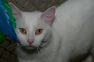 Priscilla is a very friendly white cat at the SPCA