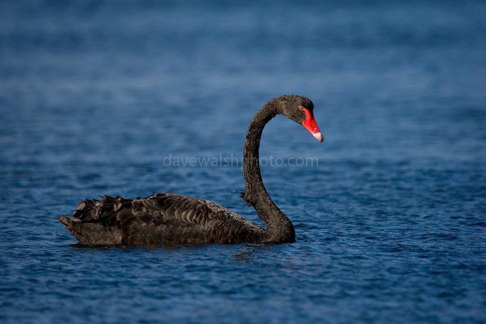 Cygnus atratus, the Australian black swan, near Port Arthur, Tasmania..