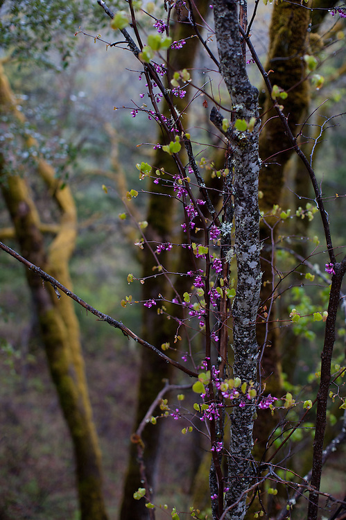 flowering Redbud in the rain, mossy oak and green conifers in the background
