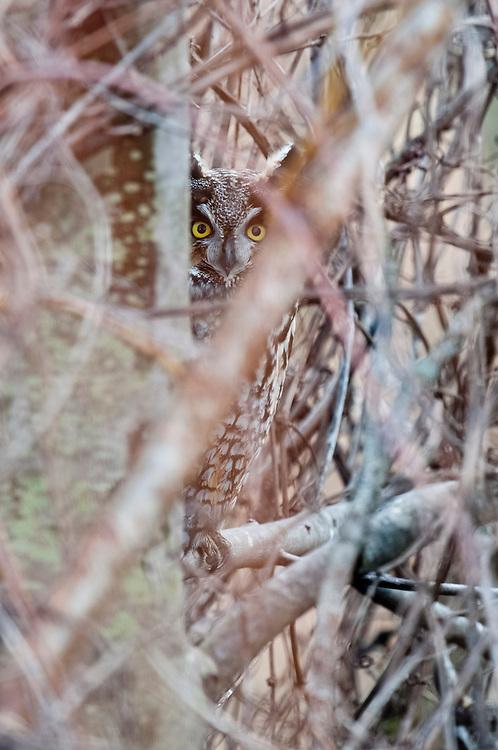 Long-eared Owl, Asio otus, Shiawassee NWR, Saginaw County, Michigan