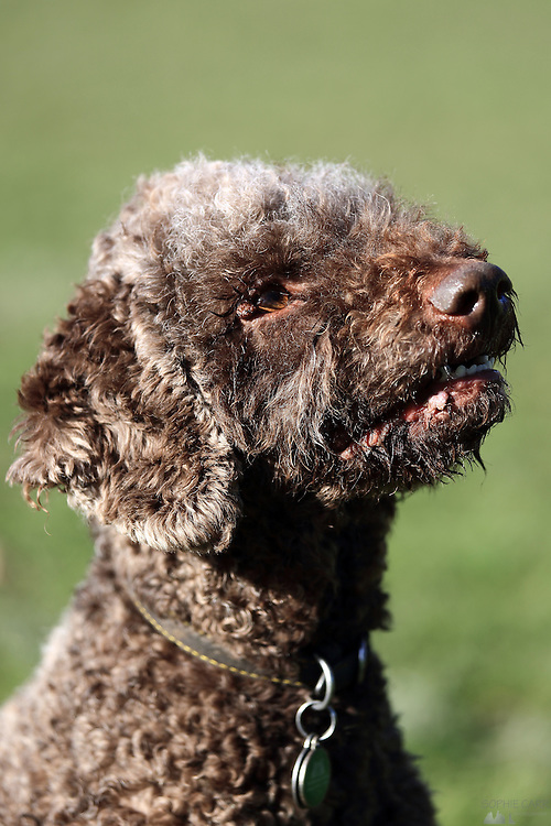Sasha the Lagotto Romagnolo playing in the park in London