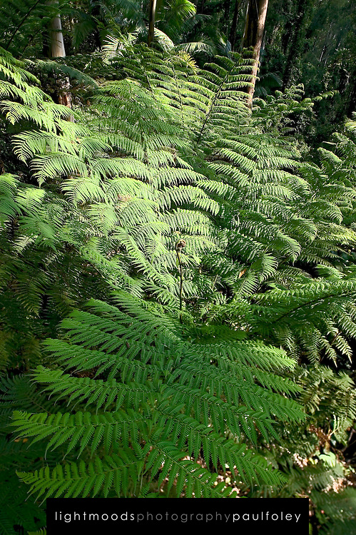 Ferns in Watagan Mountains, Australia