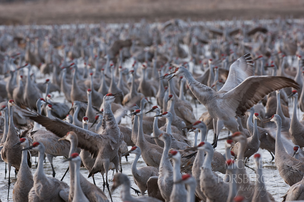 Platte River, Nebraska<br /> <br /> Two Sandhill cranes skirmish while on the river roost after sunrise.
